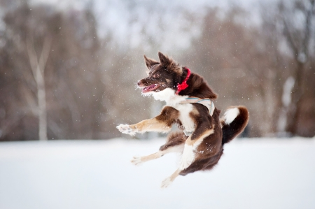border collie dog jumping photo
