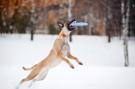 Dog Belgian Shepherd Malinois jumping and catching a flying disc in mid-air photo