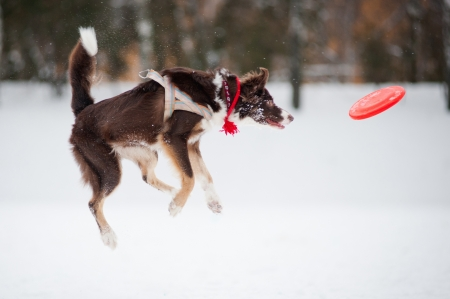 playing field: Dog border collie jumping and catching a flying disc in mid-air