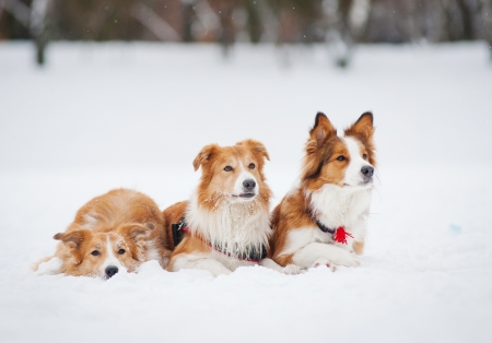 three red border collie dogs lying in the snow in winter photo