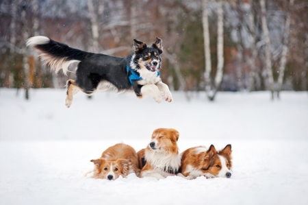 black dog border collie jumps over the other three dogs in winter photo