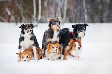 six border coolie creative dogs portrait in winter photo