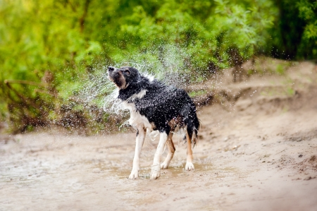 rescued: Funny Border Collie dog shakes off the water in summer