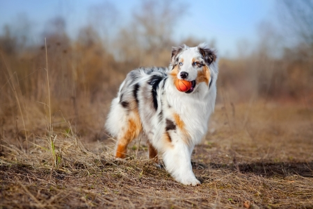show dog: Beautiful young Australian Shepherd keeps the red ball
