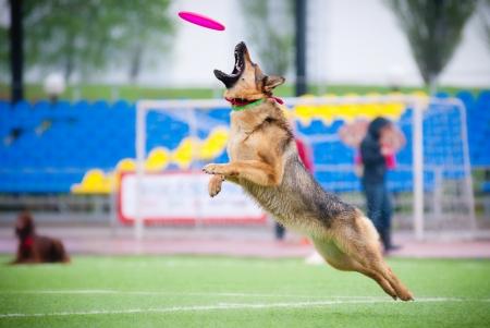 german shepherd: German shepherd catching disc in jump in competitions