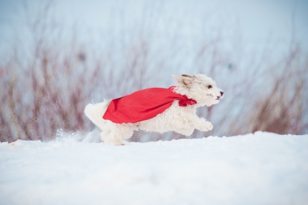 funny curly  hero dog wearing the red cloak running fast in winter