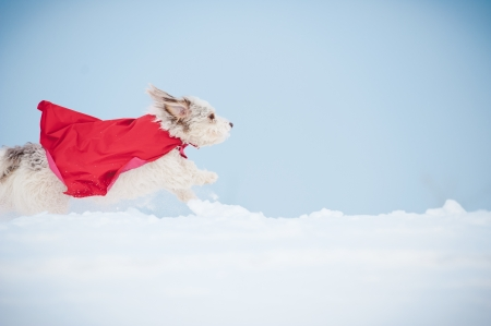 funny curly  hero dog wearing the red cloak running fast on blue sky background