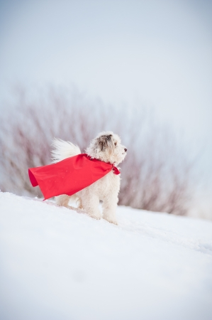 funny curly  hero dog wearing the red cloak