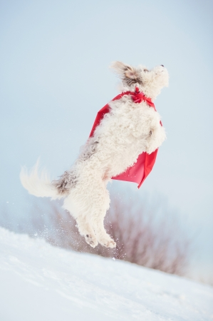 funny curly  hero dog wearing the red cloak jumping in the sky 版權商用圖片