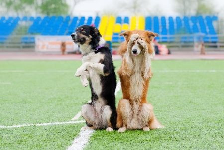 two border collie dogs show trick in the stadium in the rain