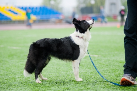 smart border collie dog stands near his owner photo