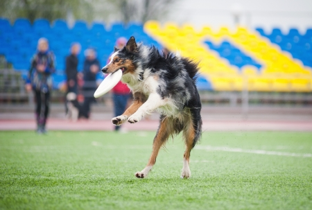 border collie catching disc in jump in competitions photo