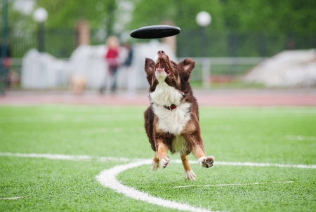 playful behaviour: border collie catching disc in jump in competitions Stock Photo