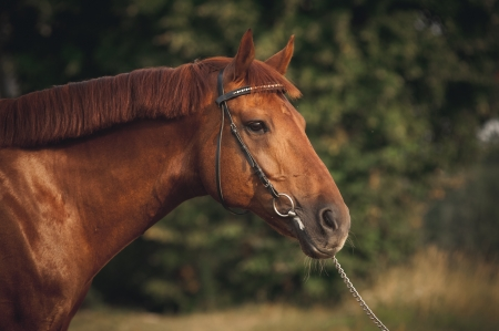 stud: Mixed breed horse portrait at sunset in summer