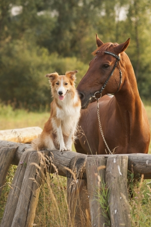 chestnut male: Red border collie dog and horse together at sunset in summer Stock Photo