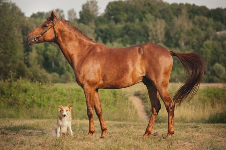 Red border collie dog and horse together at sunset in summer 版權商用圖片