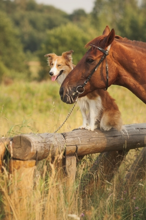 Red border collie dog and horse together at sunset in summer photo