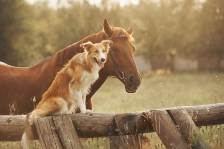 dog sitting: Red border collie dog and horse together at sunset in summer Stock Photo