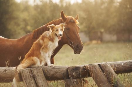 horse tail: Red perro border collie y el caballo junto al atardecer en verano