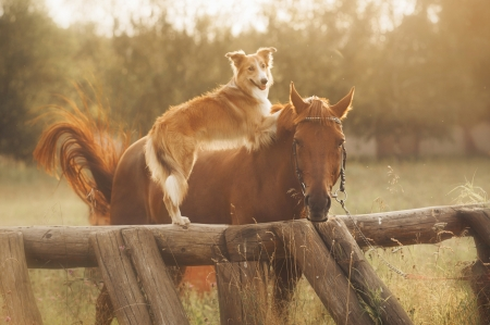 Red border collie dog and horse are friends at sunset in summer photo