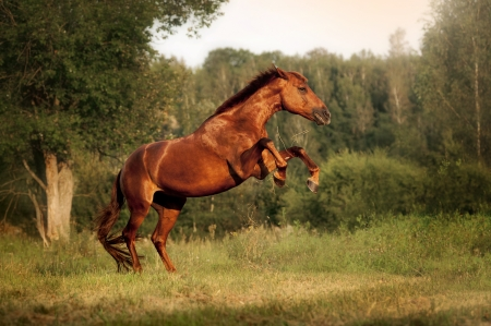 Beautiful bay horse rearing up at sunset in summer