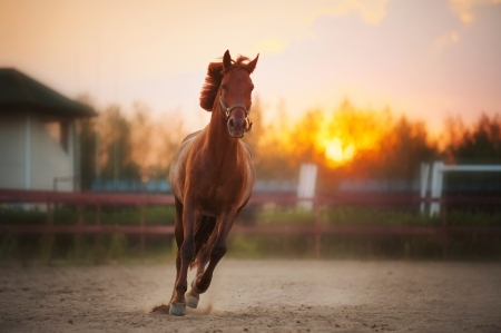 horse race: beautiful brown horse running in the paddock at sunset