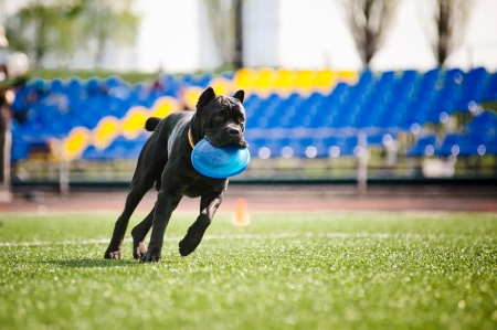 brings: funny Cane Corso dog brings the flying disc in jump