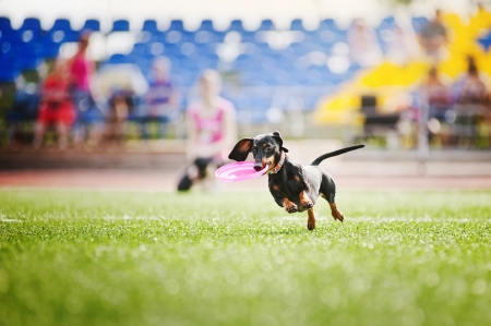 brings: funny dachshund dog brings the flying disc in jump Stock Photo