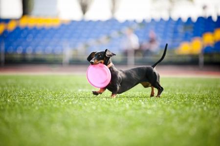 funny dachshund dog brings the flying disc in jump Standard-Bild