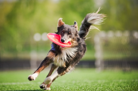 perros jugando: divertido perro border collie trae el disco volador en salto Foto de archivo