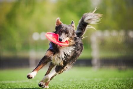 grappige border collie hond brengt de vliegende schijf in sprong