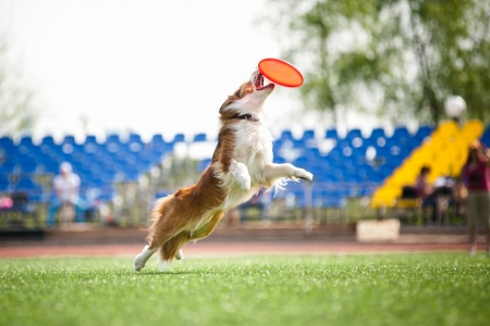 flying disc: border collie dog catching the flying disc in jump