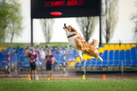 border collie dog catching the flying disc in jump