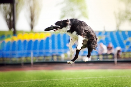 border collie dog catching the flying disc in jump photo