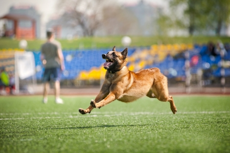 crazy Malinois dog running on the stadium photo