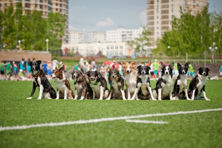 Many cute border collie dogs sitting together photo