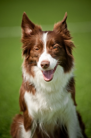 Happy border collie dog in summer day