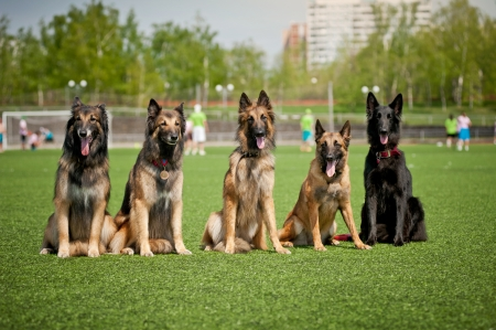 trick: Five cute Belgian Shepherd dogs sitting together Stock Photo