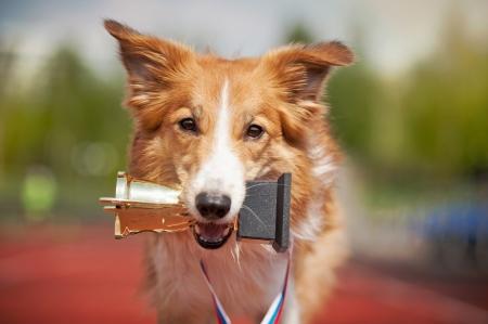 ritratto cane border collie con medaglia e premio Archivio Fotografico