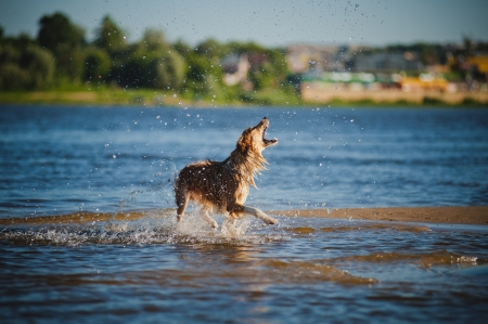 Happy border collie dog catching water splashes on the beach photo