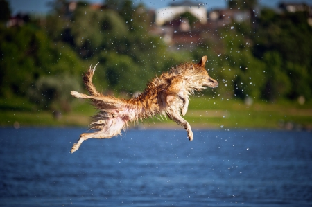 Happy border collie dog jumping up in the water
