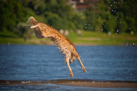 Happy border collie dog jumping up in the water photo