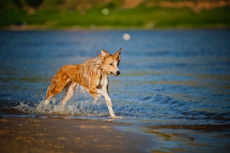 Happy border collie dog running in the water photo