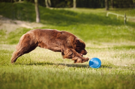 dog toy: a big brown Newfoundland dog catching the flying Disc