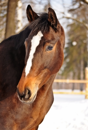 Beautiful Horse portrait in levade in winter photo