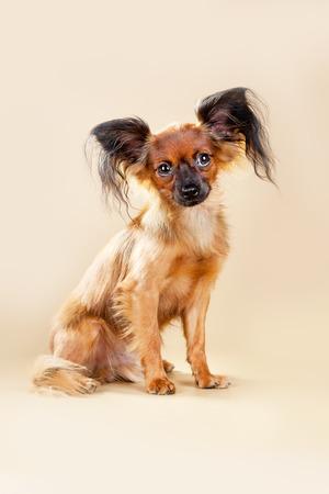 toy terrier: Cuccioli russo terrier giocattolo su uno sfondo marrone chiaro Archivio Fotografico