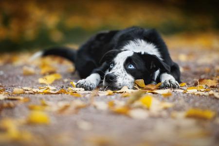 border collie: happy puppy border collie lying in autumn