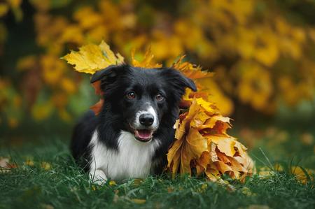 happy dog border collie under leaves in autumn