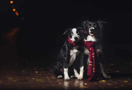collies: two dogs border collies in scarf on black background