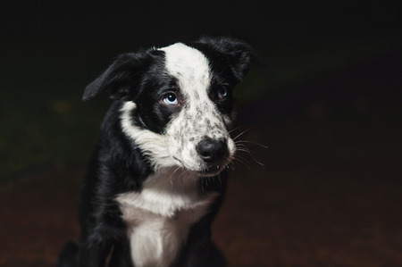 collies: sad puppy border collies on black background Stock Photo